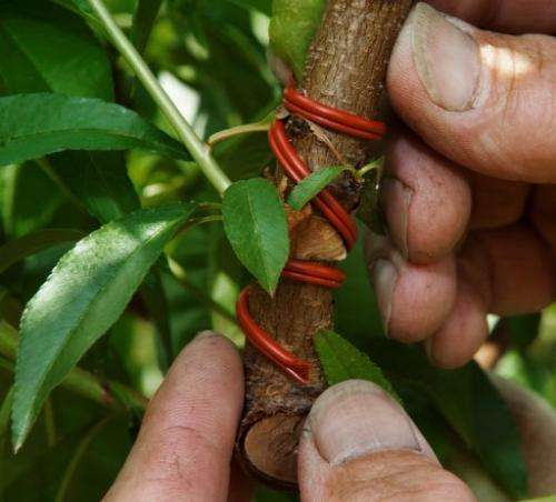 A pheromone coil intended to attract male insects, thus keeping them away from females, is attached to a peach tree