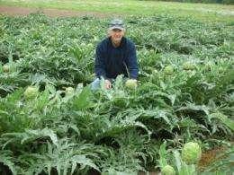 Artichokes grow big in Texas