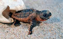 Baby turtles don't just go with the flow