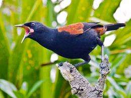 Birds invent new songs in evolutionary fast-forward
