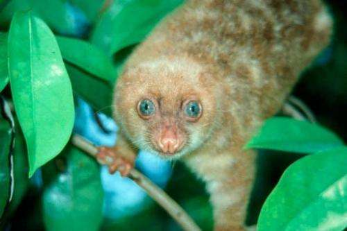 Blue-eyed spotted Cuscus, Spilocuscus Wilsoni, was amongst 1,000 new species recently found in New Guinea