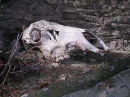 Bones conjure Yellowstone's ecological ghosts
