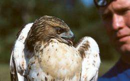 Boy or girl? Understanding how red-tailed hawks migrate