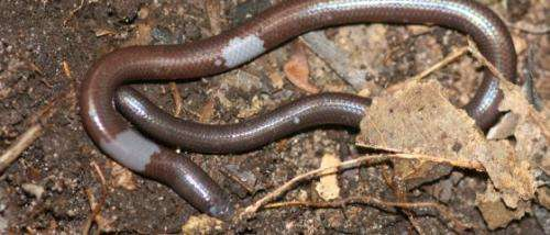 Cambodian scientist discovers new species of blind and legless lizard