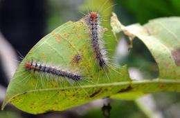 Caterpillars crawl over a leaf
