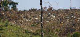 Cattle walks in a burnt area of the Amazon rain forest