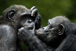 Chimpanzees play at a zoo