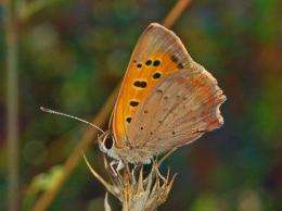 Copper butterfly folds wings to avoid unwanted male advances