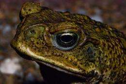 Could tadpole weaponry be used against canetoads?