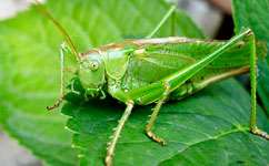 Crickets that live fast die young