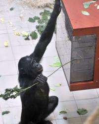 "Djanoa, a female bonobo, has been named ""the world's smartest ape"""