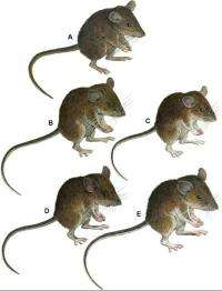 DNA decoded by FSU biologist reveals 7 new mice species