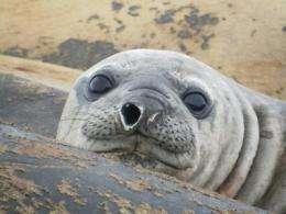 Elephant seal travels 18,000 miles