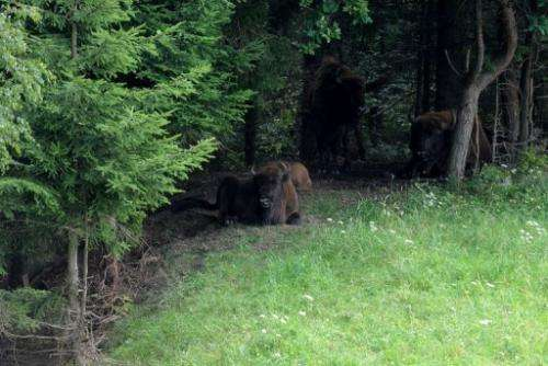 European bison have returned to the Czech Republic after more than a century