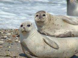 European coastal pollution is harmful to seals
