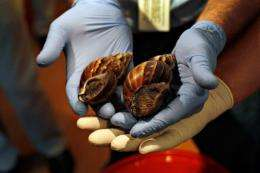 Giant African land snails are shown to the media in Miami