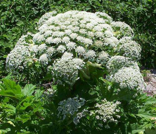 Giant Hogweed Michigan Map.Giant Hogweed Can Cause Burns And Blindness