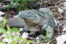 Grand Cayman blue iguana: Back from the brink of extinction