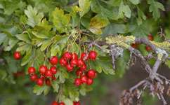 Hedgerows can be managed better for wildlife