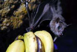 Hendra virus is passed from fruit bats (flying foxes) to horses and highly fatal to humans