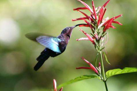 How the hummingbird's tongue really works (w/ video)