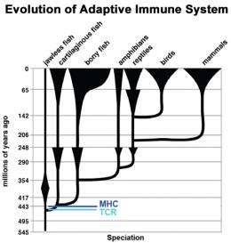 Humans, sharks share immune-system feature