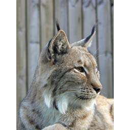 Iberian lynx not doomed by its genetics