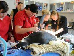 Ill penguin stranded in NZ is offered a lift home (AP)