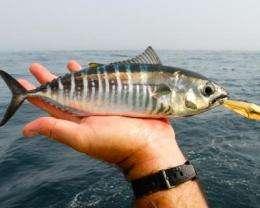 Study helps assess global status of tuna and billfish stocks