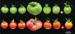 Know your tomatoes