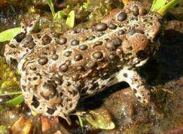 Livestock grazing not to blame for Yosemite toad decline