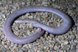 Lizard fossil provides missing link in debate over snake origins