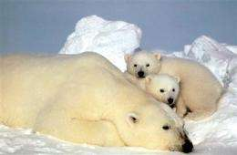 Long-distance swims may cause polar bear problems (AP)