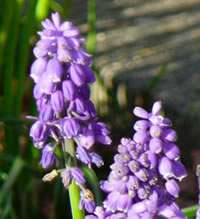 Look out for the first bluebells mightylinksfo