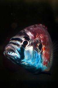 Male African cichlid fish go from 'zero to 60' when mating calls, Stanford researchers find
