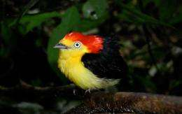Manakins, birds of tropical forests, cooperate for common goal