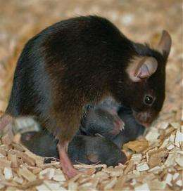 Maternal care influences brain chemistry into adulthood