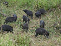 Monitoring peccaries in Brazil benefits wildlife, local communities and food security