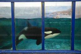 Morgan, a young Orca whale, will be moved to an animal park  despite objections by animal rights groups