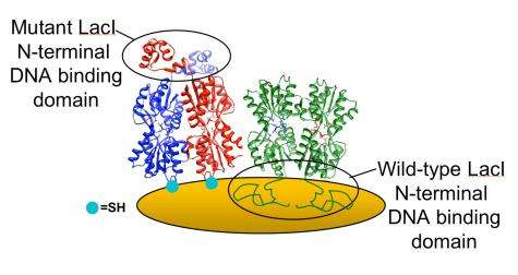 Mutant proteins weigh in: Researchers 'see' binding with DNA through quartz crystal microbalance