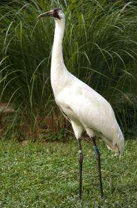 National Zoo Welcomes Whooping Crane