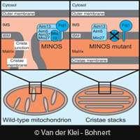 New mitochondria mechanism identified