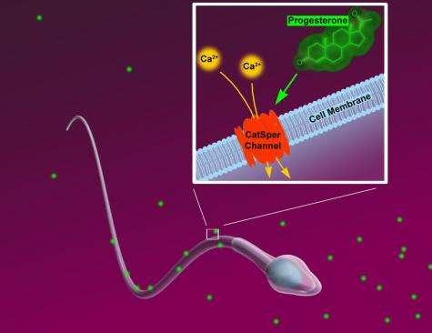 Non-hormonal contraceptive a future possibility