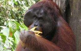 Orangutans bite back