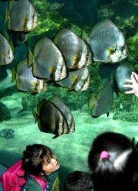 Pancake batfish are now among the known types of batfish, joining these orbicular batfish in Sydney