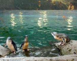 Penguins swim at a refuge in Christchurch