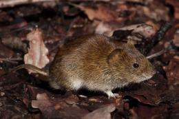 Penis size does matter if you are a bank vole