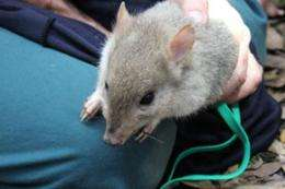 Rare bettongs return to mainland