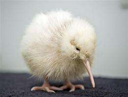 Rare white kiwi chick hatches at NZ wildlife park (AP)
