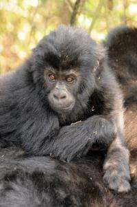 Recent census in war-torn DR Congo finds gorillas have survived, even increased